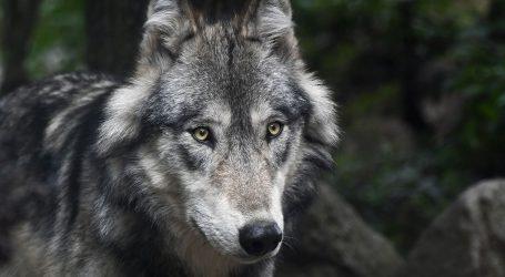 Zbog napada vukova i medvjeda traži se ostavka slovenskog ministra za okoliš