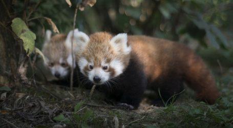 Mladunci crvenih pandi u zagrebačkom Zoološkom vrtu odlično napreduju