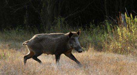 Mađari otkrili afričku svinjsku kugu na truplima divljih svinja zapadno od Budimpešte