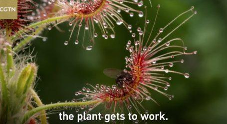 VIDEO: Pogledajmo fantastične biljke mesožderke