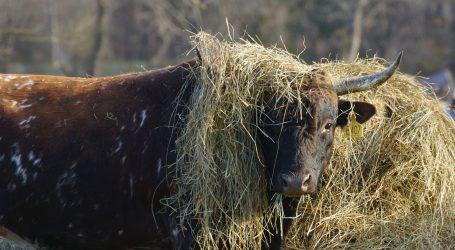 Iz klaonice u Kaštelima pobjegao bik, traži ga policija