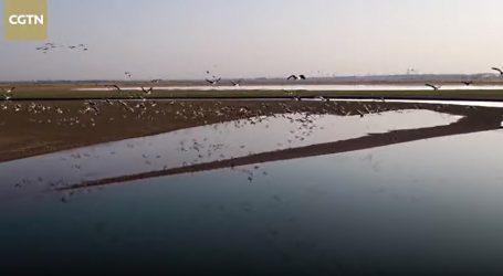 VIDEO: Sibirski bijeli ždralovi počeli svoju migraciju