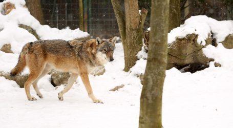 U Belgiji vuk pojeo klokana