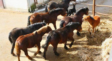 BRITANSKI VETERINARI: Konji dobivaju na težini zbog klimatskih promjena