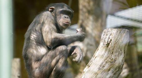 U RITMU: Čimpanze plešu i plješću na glazbu