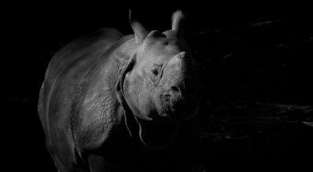 U Tanzaniji uginula najstarija ženka crnog nosoroga