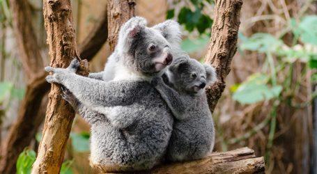 Volonteri u požarima opustošenoj Australiji pokušavaju spasiti divlje životinje