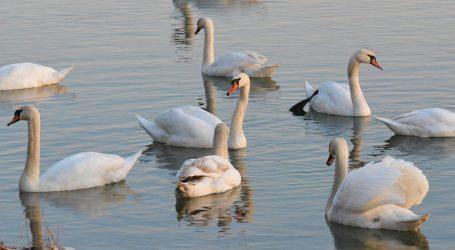 VIDEO: Hranjenje labudova u Parku prirode Manasi