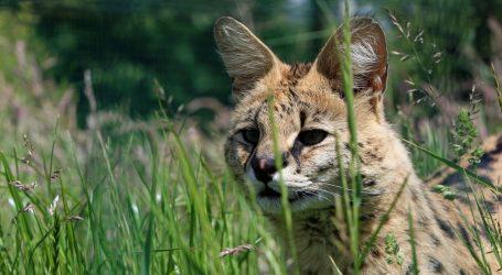 NESVAKIDAŠNJI PRIZOR: Afrička divlja mačka luta Turopoljem