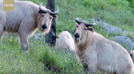 VIDEO: Zlatni takin je endemska azijska životinja