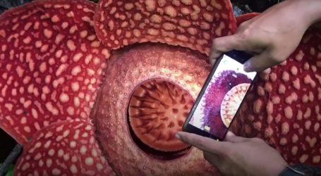 VIDEO: Neobično veliki cvjet pronađen u prašumi