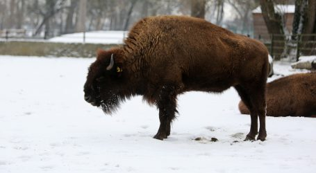 VIDEO: Kanadske starosjedilačke zajednice vraćaju bizone u prirodu