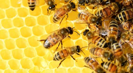 Nestanak pčela potaknut klimatskim promjenama