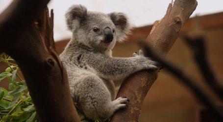Posljedice požara utječu na nestanak koala u Novome Južnom Walesu