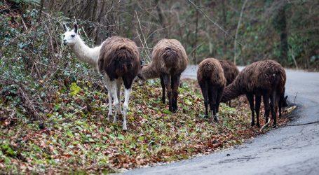 VIDEO: Pogledajmo utrku životinja Lamingadu