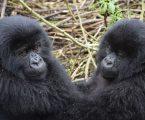 UGANDA: Četiri rijetke planinske gorile stradale u udaru munje