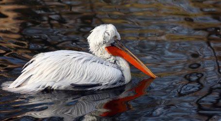 VIDEO: Pelikani se vratili u Meksiko