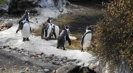 VIDEO: Pad u broju jedinki ogrličastog pingvina