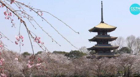 Sezona cvata trešnji u Wuhanu je na samom vrhuncu