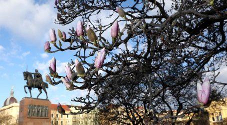 VIDEO: Jedno od najstarijih drva magnolije cvate