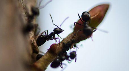 Mravlje ličinke kao cijenjeni specijalitet