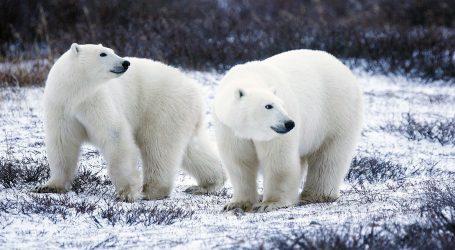 Među polarnim medvjedima uočeno sve više kanibalizma