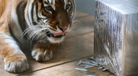 NEW YORK: Tigrica u zoološkom vrtu pozitivna na koronavirus