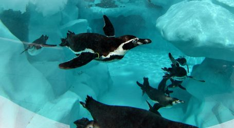 Pingvin Wellington u obilasku akvarija