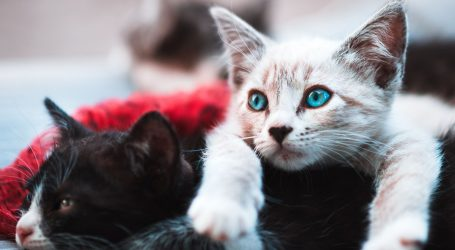 Dvije mačke u New Yorku prvi zaraženi ljubimci u SAD-u
