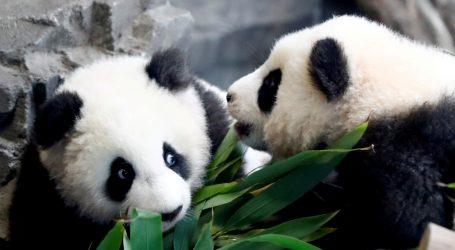 Dvije pandice došle na svijet, zasad ostaju u inkubatoru