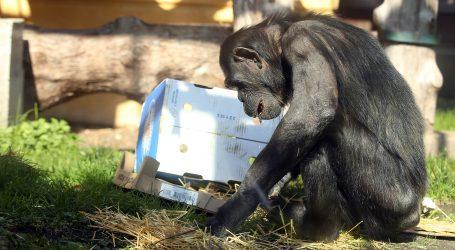 ZOO VIJESTI: Tigar u Denveru proslavio rođendan, a čimpanze iznenadio pasanac
