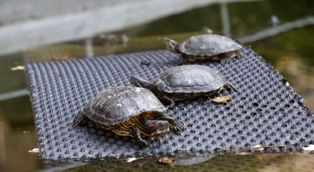 ZOO: Pedeset riječnih maksimirskih kornjača pušteno u prirodu u Konavle