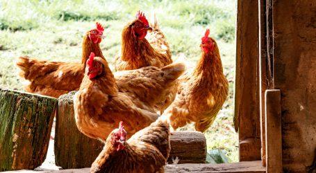 U Belgiji su svi ludi za kokošima