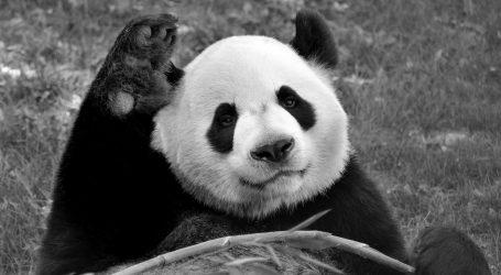 Kanadski zoološki vrt šalje pande u Kinu