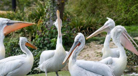 Pelikani uživaju na jezeru Superior