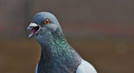Prstenovani golub zadržan u indijskoj policiji zbog sumnje da je špijun