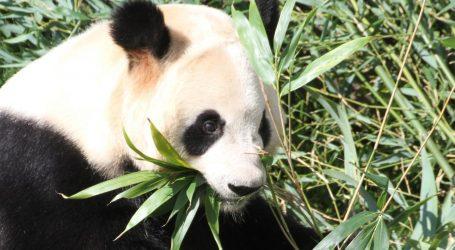Veliki panda snimljen u divljoj prirodi