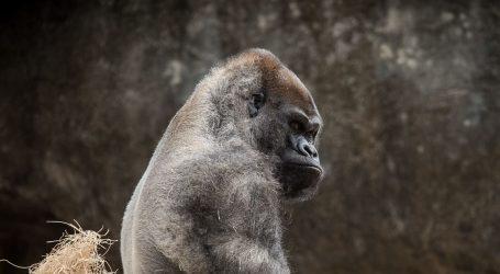 Popularna 25-godišnja gorila ubijena u ugandskom nacionalnom parku