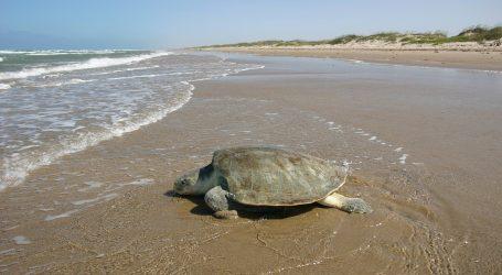 TAJLAND: Na svjetski dan okoliša ugrožena vrsta kornjače položila jaja na pustoj plaži