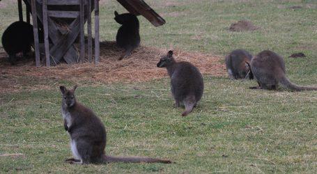 Klokani se polako vraćaju u australsku divljinu