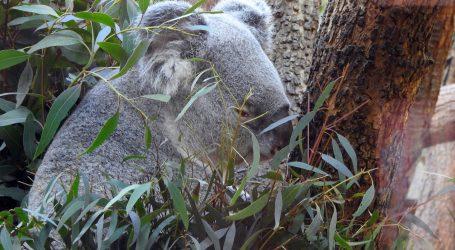Mladunac koale probao prvi list eukaliptusa
