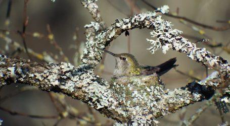 TAJNE PTIČJEG SVIJETA: Kako kolibrić brine o svojim ptićima