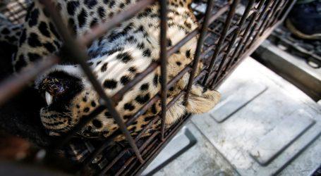 Rijetka snimka obitelji snježnih leoparda
