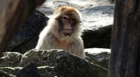 Makaki majmuni se vole kupati i igrati u vodi