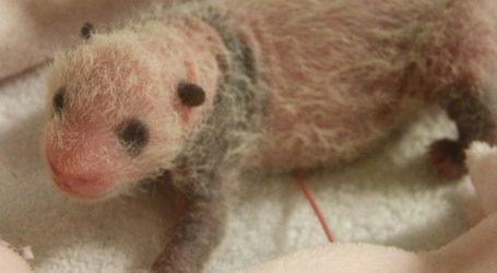 Ženka velike pande Yuan Yuan rodila mladunca