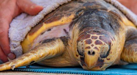 Pred malim zelenim morskim kornjačama je važna zadaća, moraju naučiti kako preživjeti