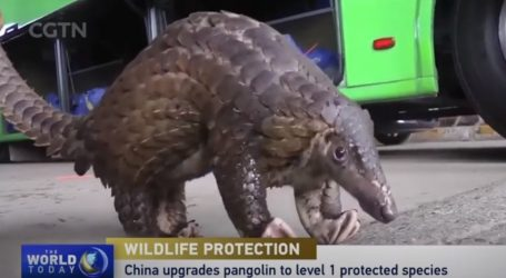 Pangolini u prvoj skupini zaštićenih životinja u Kini