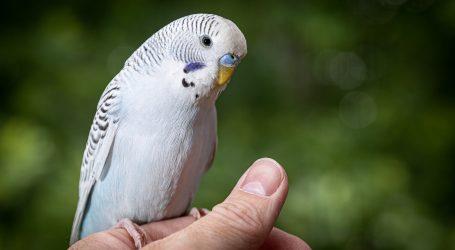 Papige uživaju u glazbi i imitiranju