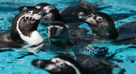 Prije otvorenja pingvini razgledali Muzej umjetnosti u Kansas Cityu