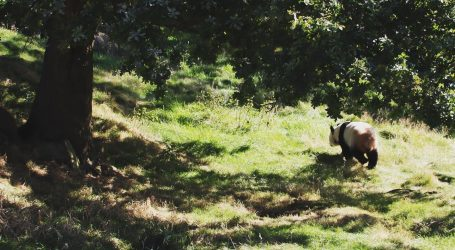 Upoznajte veliku smeđu pandu Qi Zaija